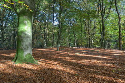 Beech Forest In Autumn On The Veluwe Print by Ronald Jansen