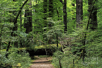 Photograph - Beech Forest New Zealand by Craig Lovell