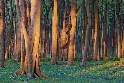 Photograph - Beech Grove, So-called Ghost Forest, At by Thomas Grundner / Look-foto
