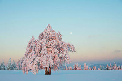 European Beech Photograph - Beech Tree Covered In Snow by Carl Bruemmer