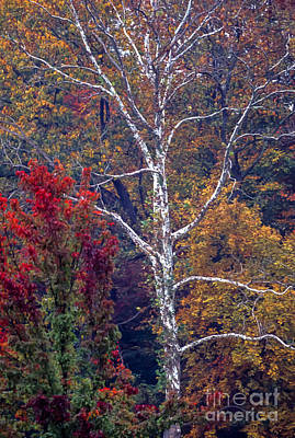 Photograph - Beech Tree In Autumn Forest by William Kuta