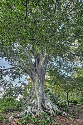 Photograph - Beech Tree by Jerry Gammon