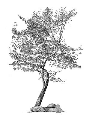 Drawing - Beech Tree by Scott Woyak