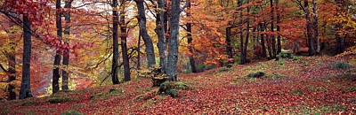 Photograph - Beech Trees In Autumn, Aberfeldy, Perth by Panoramic Images