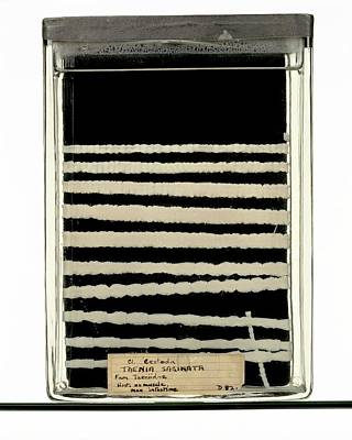 Human Worms Photograph - Beef Tapeworm Specimen by Ucl, Grant Museum Of Zoology