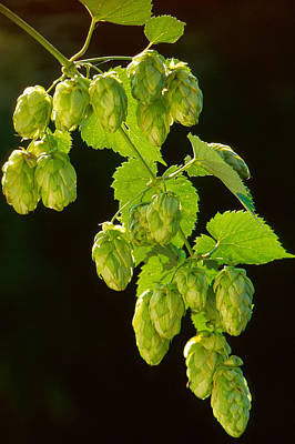 Hop Photograph - Beer Hops by Anonymous