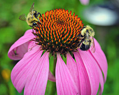 Photograph - Bees And Daisies by Amber Summerow