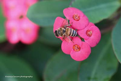 Photograph - Bees At Work by Nance Larson