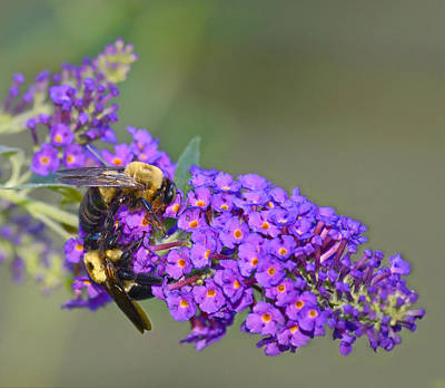 Photograph - Bees At Work by Susan Leggett