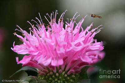 Photograph - Bee's Bee Balm by Susan Herber