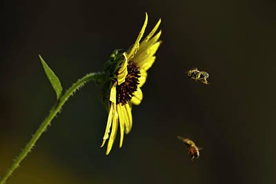 Texas Sunflower Photograph - Bees Landing On Sunflower, North Texas by Larry Ditto