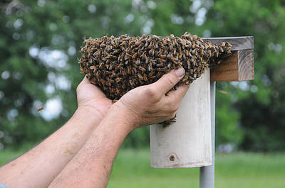 Photograph - Bees Swarming by Paul Miller