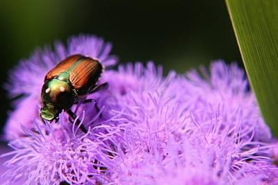Photograph - Beetle On A Flower by Jillian Gomez