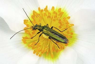 Beetle On A Flower Art Print by Nigel Downer