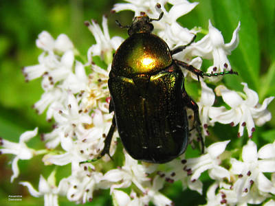 Photograph - Beetle On A Wild Flower by Alexandros Daskalakis
