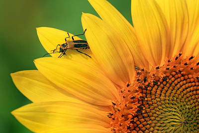 Photograph - Beetle On Sunflower by Carolyn Derstine