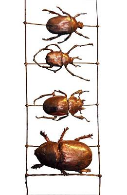 In A Row Photograph - Beetles In A Row by Victor De Schwanberg