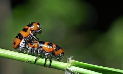Copulation Photograph - Beetles Mating by K Jayaram