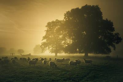 Sheep Photograph - Before Dawn Gathering by Chris Fletcher