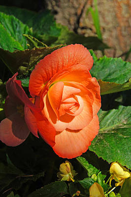 Photograph - Begonia by Bj Hodges