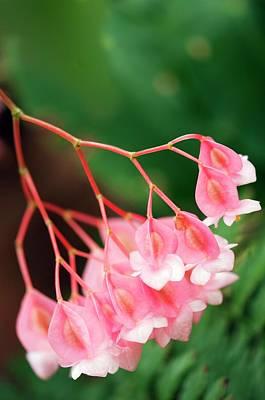 Begonia Corallina Art Print by Maria Mosolova