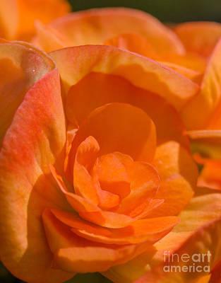 Photograph - Begonia Elatior by Ismo Raisanen