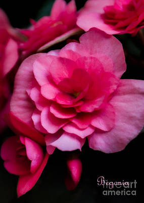 Photograph - Begonia Flowers by Kathleen K Parker