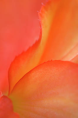 Begonias Photograph - Begonia Petal Close-up by Jaynes Gallery