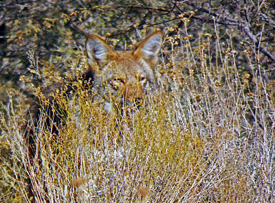Coyote Photograph - Behind The Looking Grass by Jennifer Robin