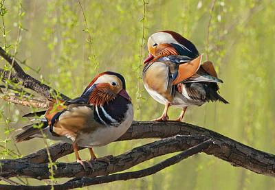 Mandarin Photograph - Beijing, China, Two Male Mandarin Duck by Alice Garland