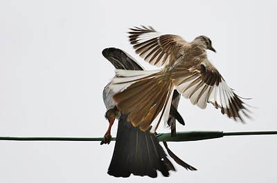 Mississippi Kite Photograph - Being For The Benefit Of Ms Kite by William Morgan