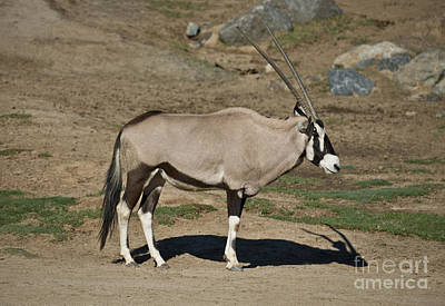 Profile Shadow Photograph - Beisa Oryx by Anthony Mercieca