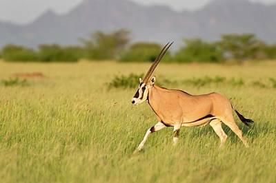 Beisa Oryx Running In Awash National Park Art Print by Tony Camacho