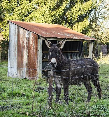 Photograph - Belgian Eeyore by Deborah Smolinske