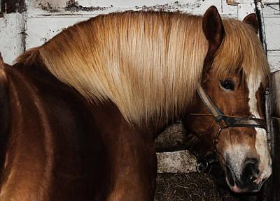 Photograph - Belgian Horse by Bianca Nadeau