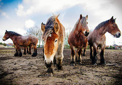 Draft Horses Photograph - Belgian Horses by Pati Photography