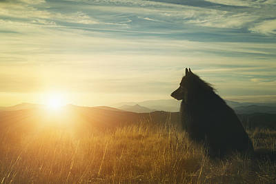 Sheepdog Photograph - Belgian Shepherd Groenendael Watching A Sunset by Wolf Shadow  Photography