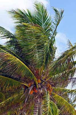 Photograph - Belize Palm Tree by Kristina Deane