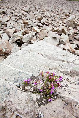 Heather Wall Art - Photograph - Bell Heather Growing On A Granite Boulder by Ashley Cooper
