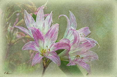 Photograph - Belladonna Lily by Hanny Heim