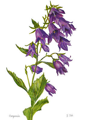 Painting - Bellflower - Campanula by Janet Zeh