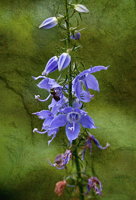 Photograph - Bellflower by Melinda Fawver