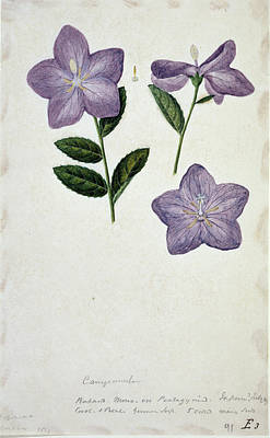 Bellflower Art Print by Natural History Museum, London/science Photo Library
