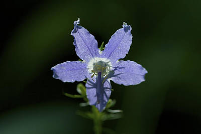 Photograph - Bellflower - Wildflower Art Print by Jane Eleanor Nicholas