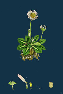 Daisy Drawing - Bellis Perennis Common Daisy by English School