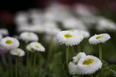 Photograph - Bellis Perennis by Lesley Rigg