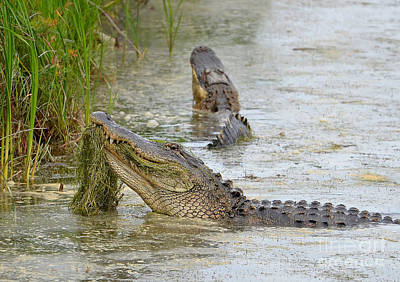 Photograph - Bellowing Alligators by Kathy Baccari