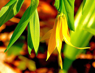 Bellwort On Display Art Print