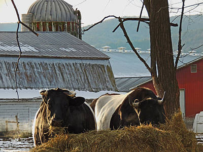 Photograph - Belted Cows by Nancy Griswold