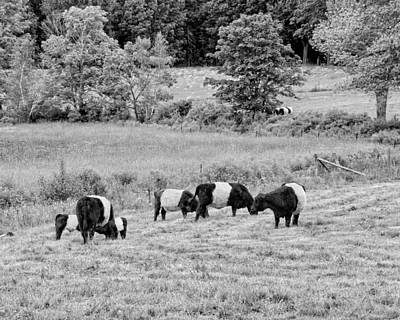 Maine Meadow Photograph - Belted Galloway Cows Rockport Maine Black Andc White Photograph by Keith Webber Jr